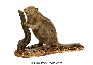 beaver. - Stuffed animal of the young beaver. It is isolated...