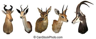 Stuffed animals antelope - Stuffed heads of wild animals,...