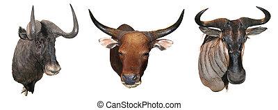 Stuffed buffalo head, hunting trophies