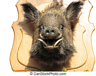 stuffed wild boar head on wooden Board isolated over white...