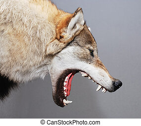 wolf - stuffed wolf head with open mouth against gray ...