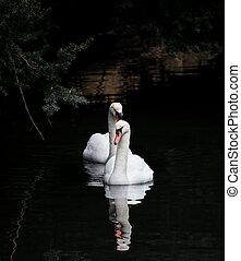 stummer schwan