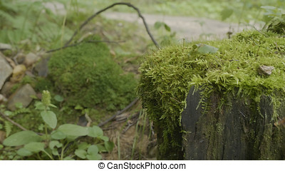 Stump in the forest. Old tree stump covered with moss. Stump green moss spruce pine coniferous tree forest park wood root bark sunlight background