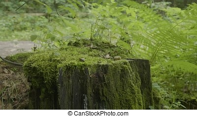 Stump in the forest. Old tree stump covered with moss. Stump...
