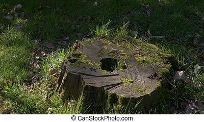 Stump in the forest. The old stump is covered with moss....