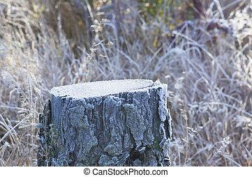 Stump of cut pine tree in snow