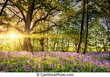 Stunning bluebell forest in spring sunrise
