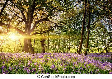 Stunning bluebell forest in spring sunrise