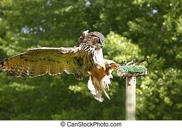 stunning brown owl in flight