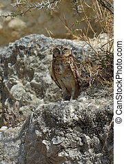 Stunning Burrowing Owl on a Rocky Outcropping in Aruba - ...