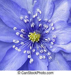 Stunning close up of lavender blue flower in bloom in Spring with water casuing distortion