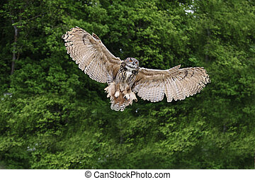 Stunning European eagle owl in flight - Beautiful image of ...