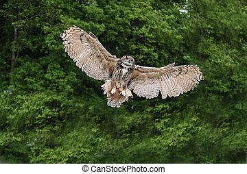 Stunning European eagle owl in flight - Beautiful image of...