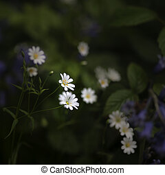 Stunning high contrast vibrant image of wild daisies on Spring forest floor