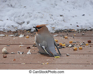 stunning image of bohemian waxwing in winter