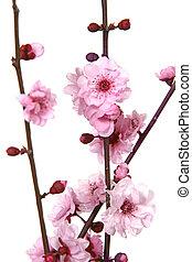 Stunning Image of Cherry Blossoms