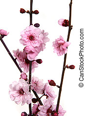 Stunning Image of Cherry Blossoms on White