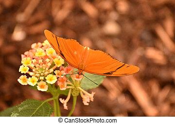 Stunning Julia moth resting on a beautiful flower - Stunning...