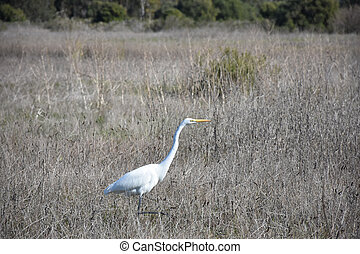 Stunning Large White Heron in a Big Field