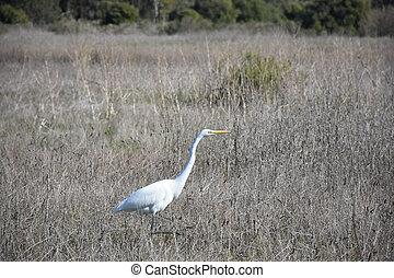 Stunning Large White Heron in a Big Field - Beautiful large ...