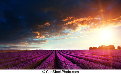 Stunning lavender field landscape at sunset in Summer