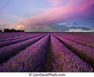 Stunning lavender field landscape Summer sunset - Beautiful...
