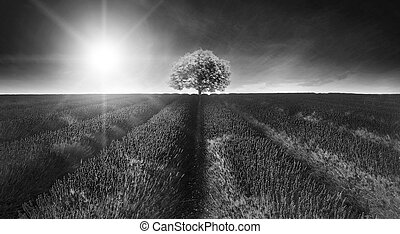 Stunning lavender field landscape Summer sunset in monochrome
