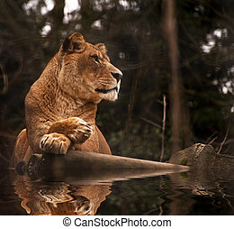 Stunning lioness relaxing on a warm day reflection in water...