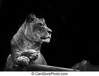 Stunning lioness relaxing on a warm day in black and white -...
