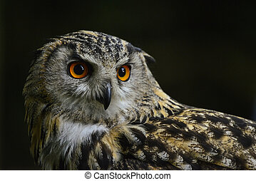 Stunning portrait of European Eagle Owl bubo bubo
