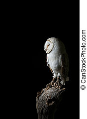 Stunning portrait of Snowy Owl Bubo Scandiacus in studio setting isolated on black background with dramatic lighting