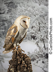 Stunning portrait of Snowy Owl Bubo Scandiacus in studio setting isolated on snowy Winter backgorund