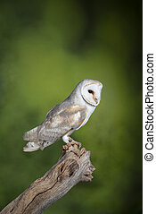 Stunning portrait of Snowy Owl Bubo Scandiacus in studio setting with mottled green nature background