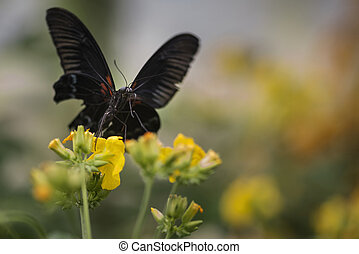 Stunning Scarlet swallowtail butterfly on bright yellow flower with other butterfly flying in background