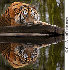 Stunning tiger relaxing on warm day with head on front paws...