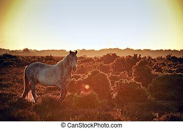 Stunning warm glow image of New Forest pony at sunrise...