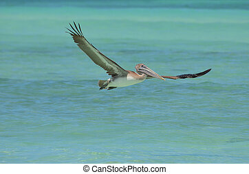 Beautiful pelican with large wide wings