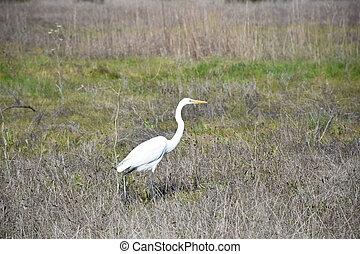 Stunning White Heron Bird Taking Steps in Field