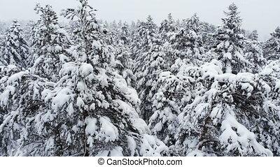 stupéfiant, voler, passé, hiver, forêt, pendant, neigeux, grand, snow., aérien, bas, 4k, mélangé, branches, vue, chute neige, pins, sur