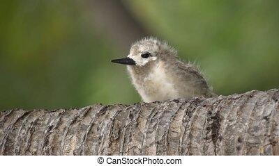 Stupid grey tern in the wild 11