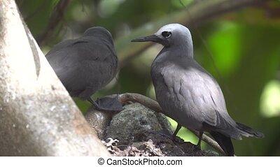 Stupid grey tern in the wild 2