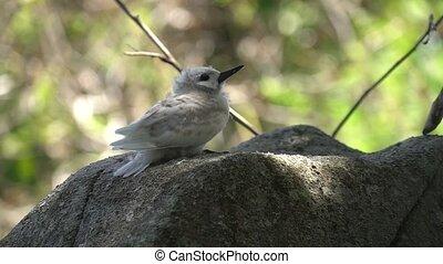 Stupid grey tern in the wild 9