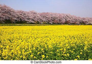 stupro, fiori, e, albero ciliegia