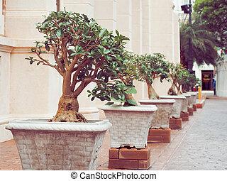 Sturdy bonsai tree in the pot