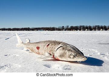Sturgeon on a Frozen Lake