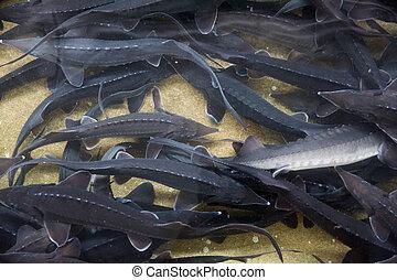 Sturgeon swimming underwater on fish farm