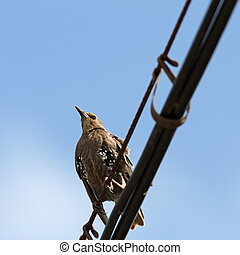 sturnus vulgaris on cable - european starling ( sturnus...