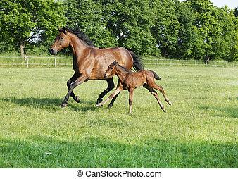 stute, fohlen, gallops