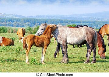 stute, fohlen, pferd, weißes