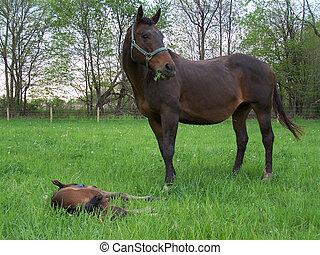 stute, fohlen